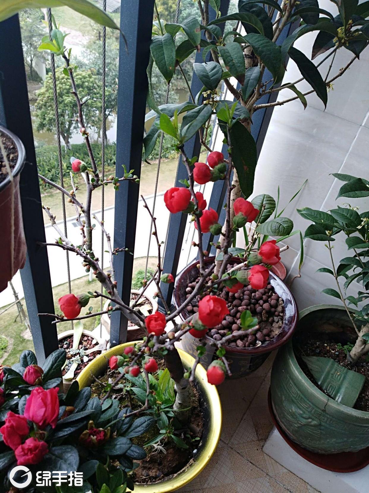 贴梗海棠常见病害 贴梗海棠掉叶子怎么办 贴梗海棠的养殖方法 贴梗