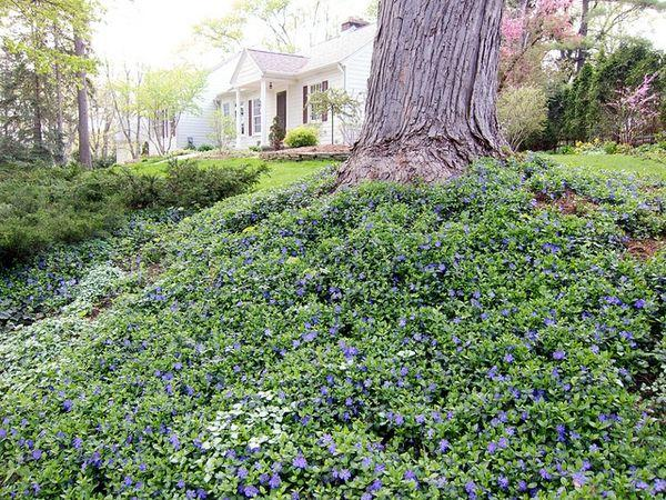 Ground Cover Plants Tips For Planting, Ground Cover Around Trees