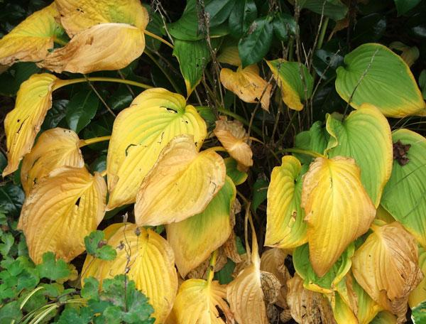 Yellow Hosta Leaves Why Are Hosta Plant Leaves Turning Yellow