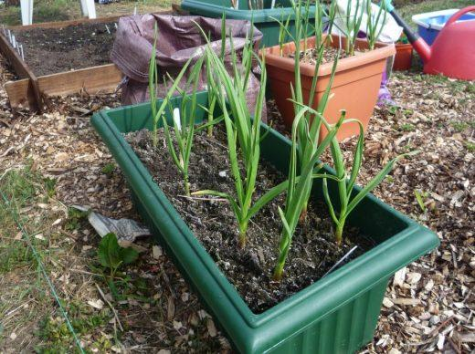 Garlic Planting In Pots Tips For