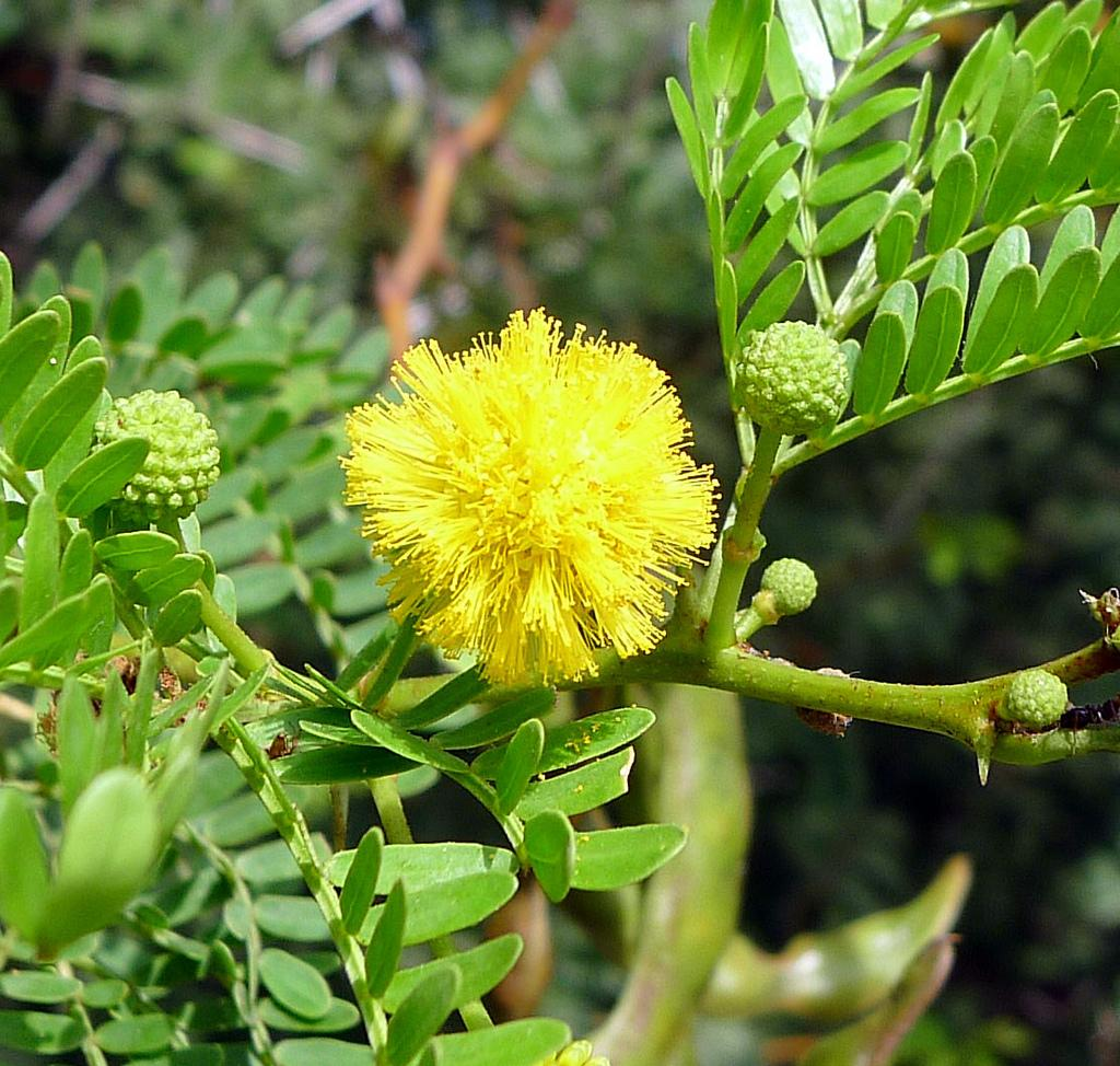 Acacia Tree Care Information About Acacia Tree Types Dummer