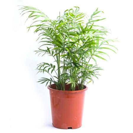 袖珍椰子图片_袖珍椰子怎么养长得快 - 权问薇 - 绿手指 - 最专业的养花APP