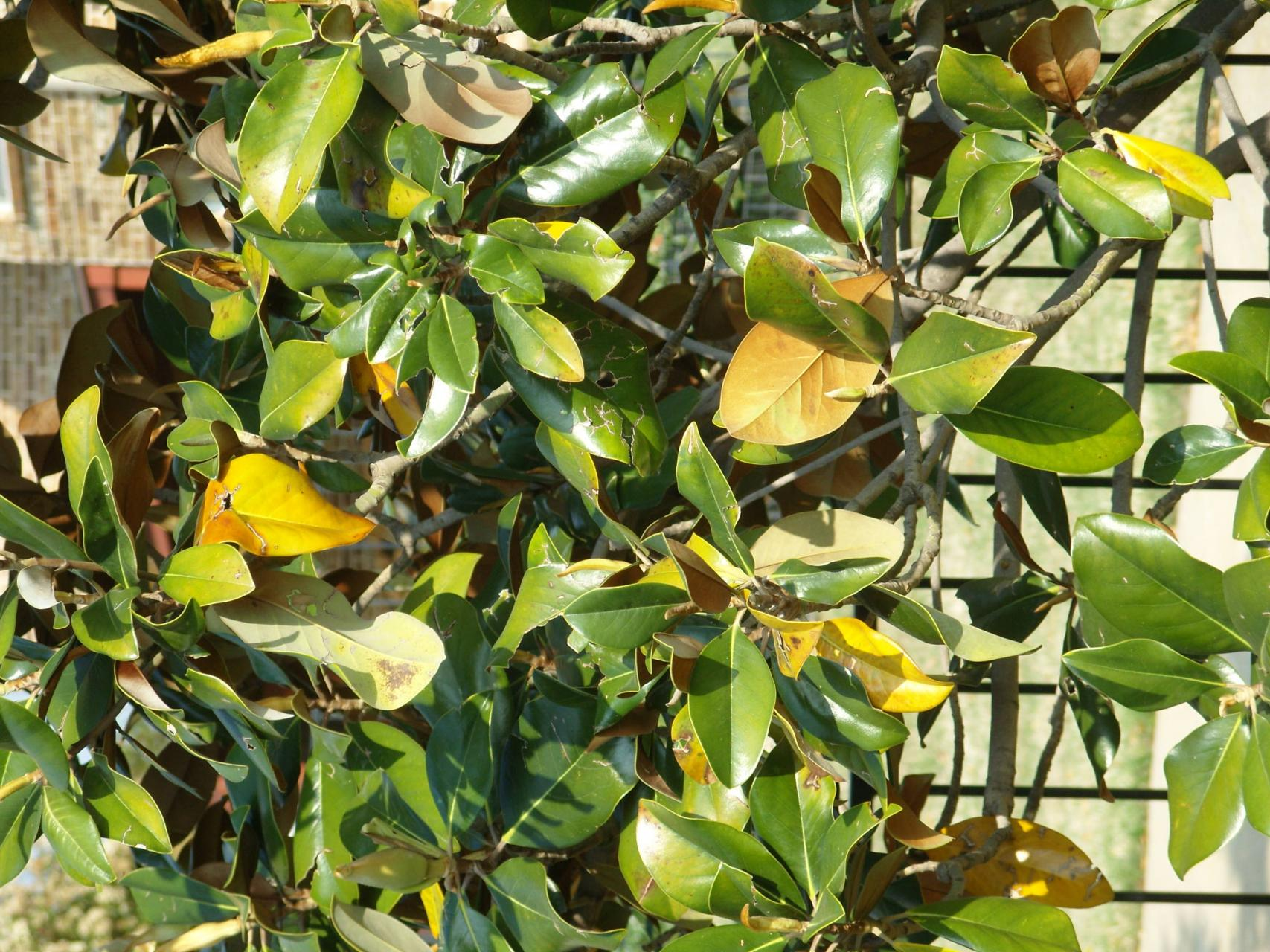 My Southern Magnolia Has Yellow Leaves Whats The Cause Dummer