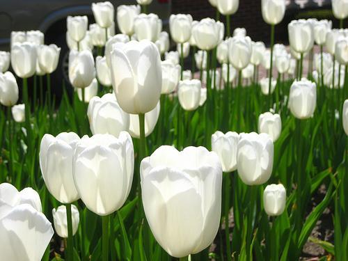 白い チューリップ 花 言葉