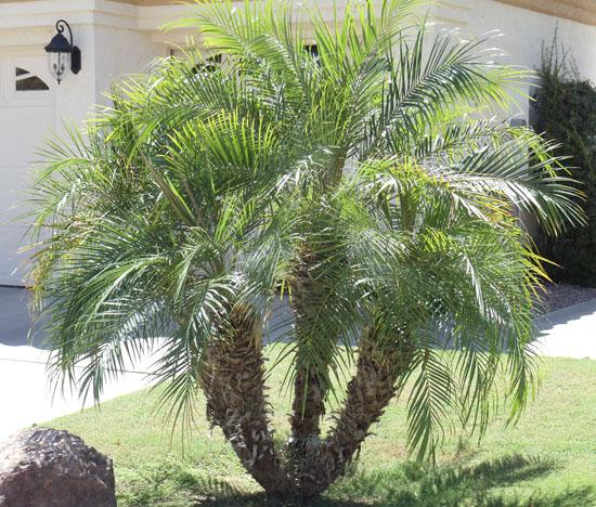 Within This Category There Are Two Types Of Palm Trees Small Tree And Bushy Each Has Its Own Uses Comes In Many Varieties Read On To Learn More About