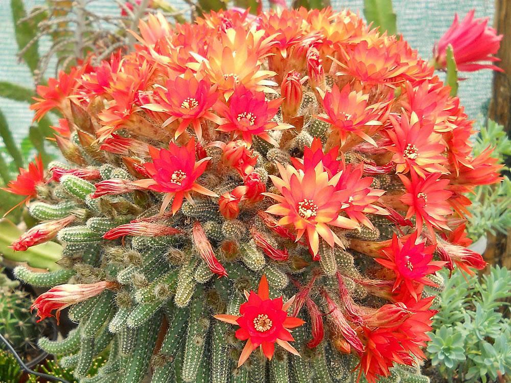 Chamaecereus silvestrii Will Develop Huge Clump of Stems Cactus Orange Flower 11