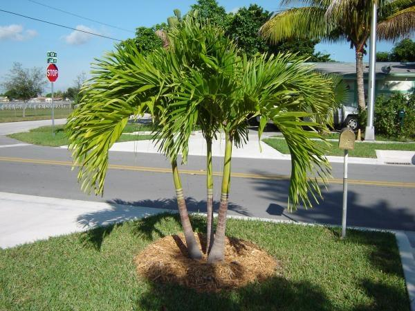 Areca Palm Care: Complete Guide On Growing Areca Palm - Garden ...