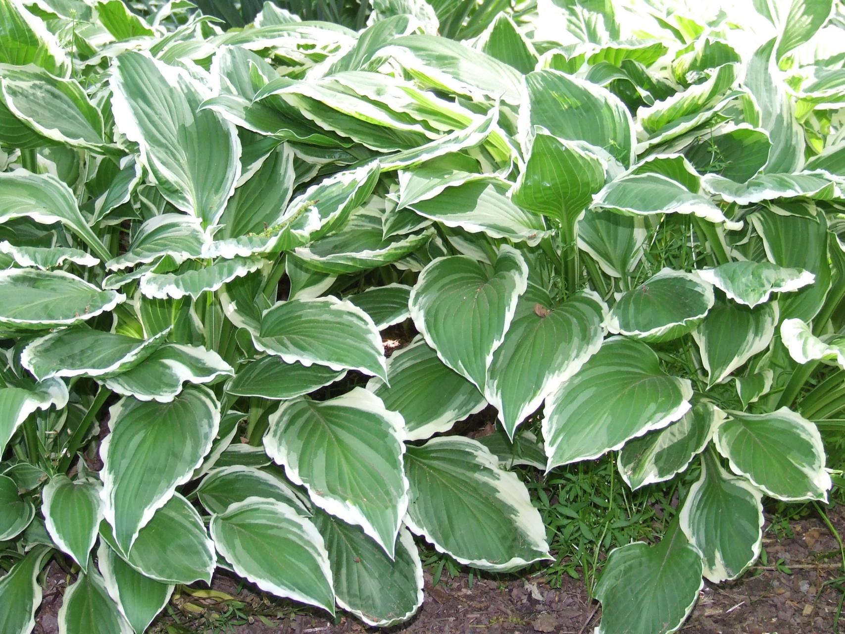 Types Of Hosta Plants How Many Types Of Hosta Are There Dummer