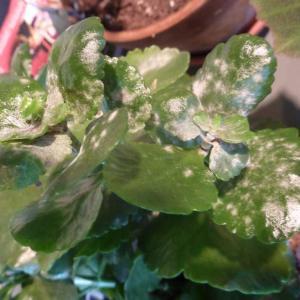Powdery mildew - Indoors