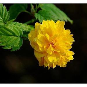 棣棠花的花语