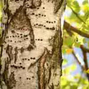 Tratar los árboles con lechada de cal