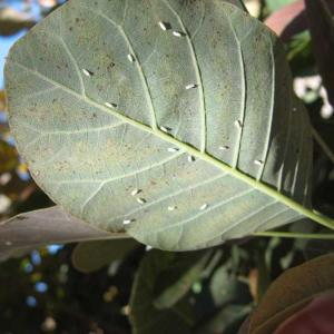 Whitefly - outdoors
