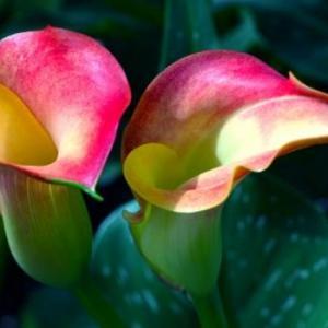 彩色马蹄莲图片