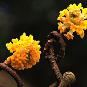 花语传说:结香的花语及传说