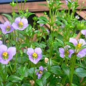 紫芳草图片