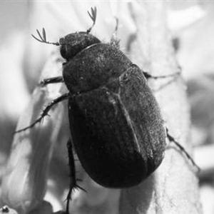 地被类虫害:黑绒鳃金龟
