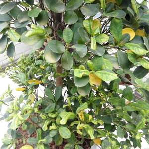 请问我的盆栽金钱榕为什么叶片会变黄,新长出的叶子又小又黄,请赐教,急急!