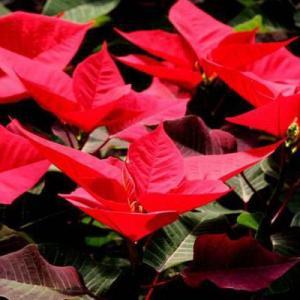 观叶植物过冬法之一品红
