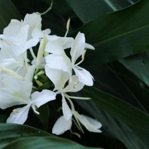 野姜花的花语