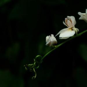 白花珊瑚藤图片