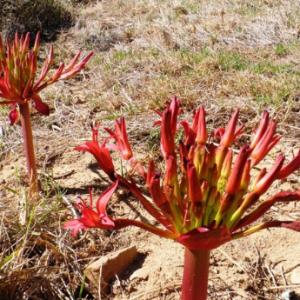 吊灯百合(Brunsvigia orientalis)