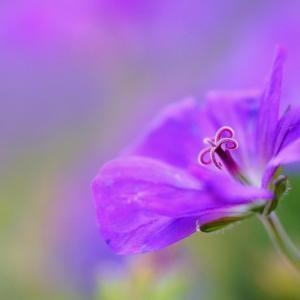 唯美的紫罗兰图片欣赏