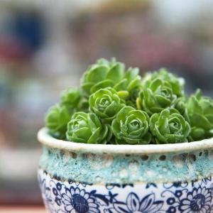 Pests of succulent plants