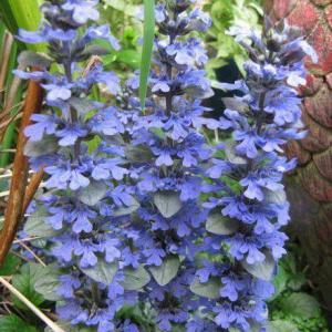 Propagating Ajuga Plants – How To Propagate Bugleweed Plants