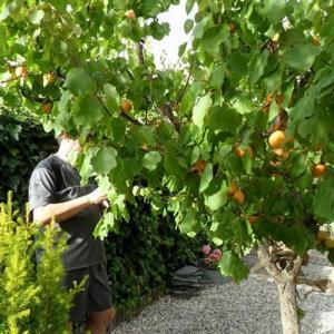 Árboles frutales: el albaricoquero