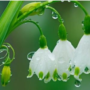 雪滴花的花语