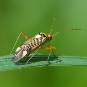 Capsid (or mirid) bugs