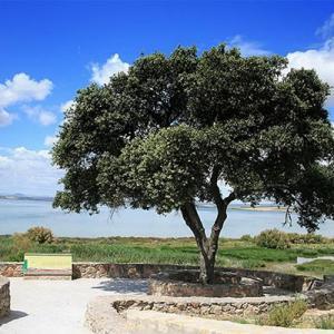 Acebuche: un olivo silvestre