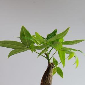 发财树烂根怎么补救