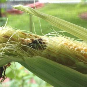 Tomato fruitworm / corn earworm