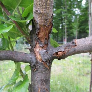 Bacterial Canker
