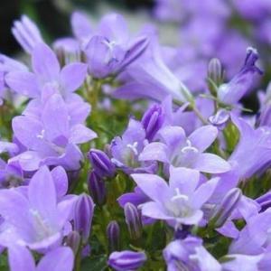 紫罗兰的传说
