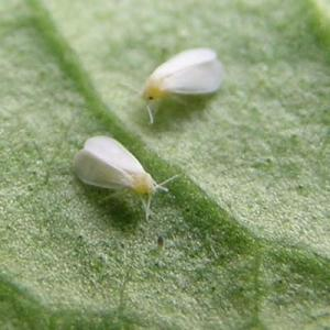 Whitefly - indoors