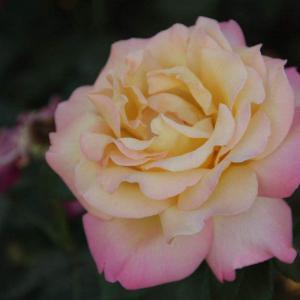 香水月季的病虫害防治