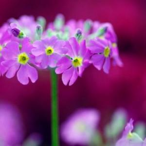樱花草的花语