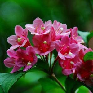 花语大全:锦带花的花语是什么?
