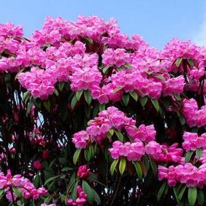 巴林的国花:杜鹃花