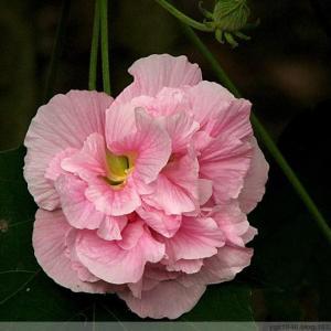 芙蓉花的花语