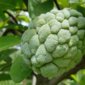热带地区有名的释迦果,营养是非常丰富的。