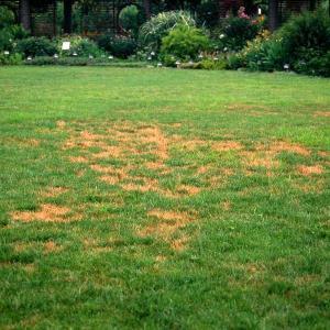 Brown Patch of Cool-season Lawns
