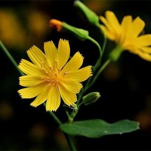 植物花冠吸引昆虫的秘密