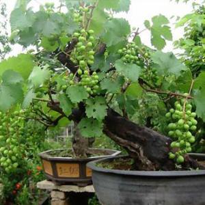 盆栽葡萄图片