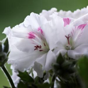 各种颜色的天竺葵图片