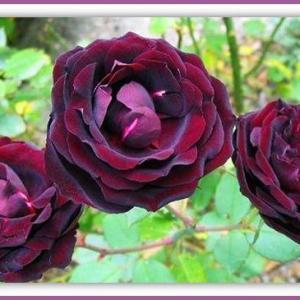 路易十四玫瑰花的花语和传说