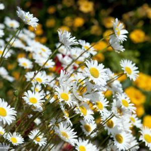 雏菊花的花语及代表含义