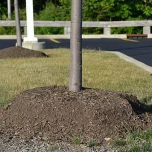 El mulching erróneo de los árboles jóvenes